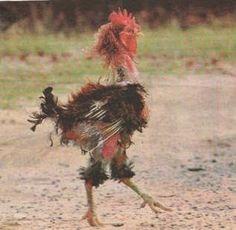 El gallo nachito.