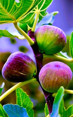 My fig tree has lots of figs ripening! L'art Du Fruit, Fruit Plants, Fruit Art, Fruit Garden, Fruit And Veg, Fruit Trees, Fruits And Vegetables, Fresh Fruit, Fig Fruit