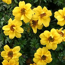 gf bidens bacopa on pinterest annual plants flower. Black Bedroom Furniture Sets. Home Design Ideas