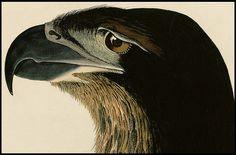 Bird of Washington (Bald Eagle) by JJ Audubon 1832 (detail)   Flickr - Photo Sharing!