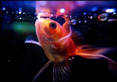 A fish feeding schedule is one of the many important aspects of being an aquarium owner. Aside from keeping the tank and water clean, having your fis . Koi Betta, Betta Fish Tank, Goldfish Food, Goldfish Care, Animals And Pets, Funny Animals, Automatic Fish Feeder, 10 Gallon Fish Tank, Aquarium Supplies