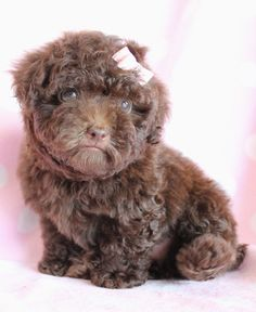 16 Best Chocolate Poodle Images Poodle Chocolate Poodle