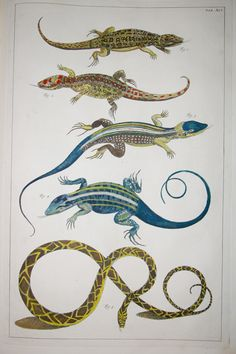 Locupletissimi Illustration From The Albertus Seba Collection In His Cabinet  Of Natural History Curiosities Http://blog.biodiversitylibrary.org/201u2026