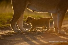 Christine et MichelDenis Huotphotographes animaliers – Lion cub and mommy