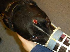 Milton the Greyhound - a survivor of the boltgun - http://www.cagednw.co.uk/ban-the-bolt.html