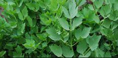 Leusteanul poate fi folosit atat la gatit, cat si in scop medical. Iata cat este de benefic  Leusteanul (Levisticum officinalis), denumit popular si buruiana de lungoare, leostean, libistoc, lustrean sau pascanat, este o planta erbacee, perena,