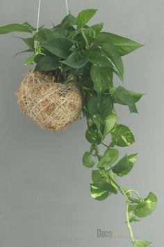 poisonous houseplants - Efeutute