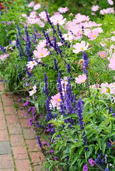 Summer border with Salvia farinacea Victoria in purple)  Cosmos bipinnatus Sonata Pink.