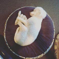 Motley the standard poodle zzzzzzzz #motley