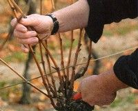 Growing Grapes and Pruning Grapes - A How to Guide with Images and Instructions