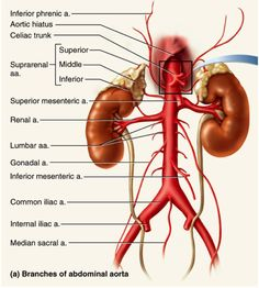 abdominal arteries diagram