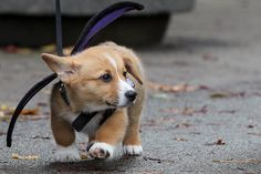 Sweet little Corgi Bug