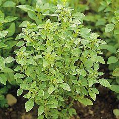 OCIMUM basilicum - soi Bush - Busuioc