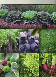 "Garden Design article 2010.  Left to right, top to bottom:  Texture and color companions salvia, ornamental cabbage and sweet alyssum; asparagus 'Purple Passion', sweeter than green varieties; highbush blueberry 'Duke', loaded with berries early in the season and glorious leaf color later in the fall; fennel foliage, tall & delicate; fig ""Violette Dauphine', dark purple fruits, few seeds and bold foliage; broccoli 'Romaesco' with abstract spiral floret; eggplant 'Purple Rain', with 6-7""…"