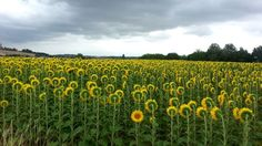 """This Sunflower Doesn't Want To Face East - It went """"Nope"""", just like me"""