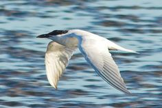 Gull-billed Tern - Port Aransas, Texas, 2007