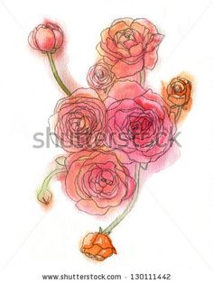 Watercolor ranunculus illustration. - stock photo