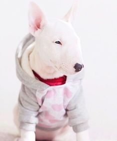 Uplifting So You Want A American Pit Bull Terrier Ideas. Fabulous So You Want A American Pit Bull Terrier Ideas. White Bull Terrier, Mini Bull Terriers, Bull Terrier Puppy, English Bull Terriers, Education Canine, Beautiful Dogs, Funny Dogs, Dog Breeds, Cute Animals