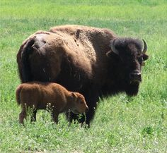 Mama Bison and baby from Lindner Ranch