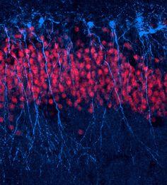 Neurogénesis: ¿cómo se crean nuevas neuronas?