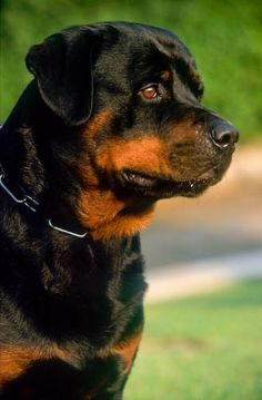 """Obtain fantastic tips on """"rottweiler puppies"""". They are accessible for you on our web site. German Rottweiler, Rottweiler Love, Rottweiler Puppies, Rottweiler Names, Big Dogs, Dogs And Puppies, Cute Dogs, Chihuahua Dogs, Puppies For Sale"""