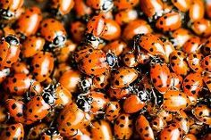 How To Start a Ladybug Garden! The benefits of having ladybugs in your garden include being able to cute back on pesticides and ridding your flower beds of aphids and other insect pests. And Jenny comes back as a ladybug! Diy Garden, Dream Garden, Lawn And Garden, Garden Projects, Garden Plants, Garden Landscaping, Garden Bugs, Organic Gardening, Gardening Tips