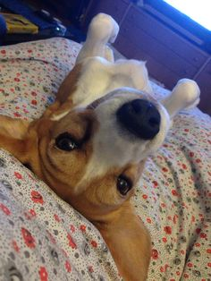 Peppi Beagle   Pawshake
