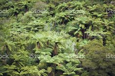 Native New Zealand/ Aotearoa Ponga (Punga) Tree Ferns royalty-free stock photo Abel Tasman National Park, Tree Fern, Forest Bathing, Image Now, Fine Art Photography, New Zealand, Nativity, National Parks, Royalty Free Stock Photos