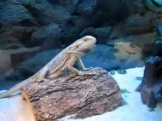 See what the bearded dragon does when he sees his reflection!