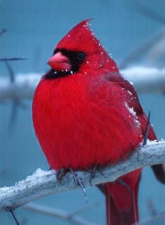Beautiful Male Cardinal in the Snow