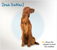 """Did you know the Irish Setter was developed from a mix of several dogs, resulting in one that was meant to """"set"""" the game while hunters readied themselves to throw a net over the target game? Read more about this breed by visiting Petplan pet insurance's Condition Checker!"""