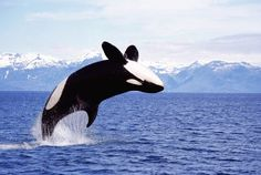 Schwertwale leben in kleinen Gruppen, sogenannten Schulen.