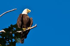 Bald eagle. July at the Trail of the Coeur d'Alenes.
