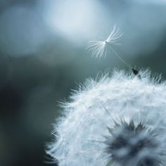 Dandelion by © Olivia Michalski