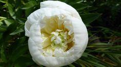 Paeonia lactiflora 'Duchesse de Nemour'