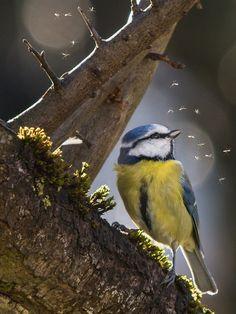 Blaumeise by Georg Haaser on All Birds, Little Birds, Love Birds, Beautiful Birds, Blue Tit, Bird Theme, Mundo Animal, Bird Watching, Bird Feathers