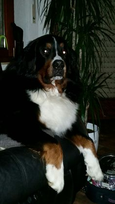 Maximilian. Berner sennenhund