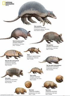 Armadillo Species - Pin This Nature Animals, Animals And Pets, Cute Animals, Tatou Animal, Animal Plates, Paludarium, Armadillo, Prehistoric Creatures, Animal Facts