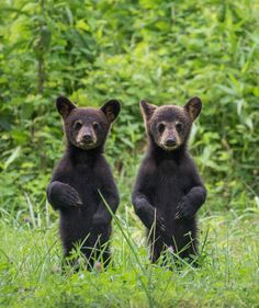 2 bear cubs | With explore.org, animals around the world are just a click away.