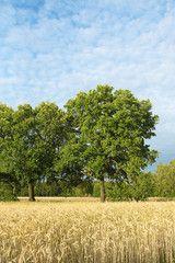 Schäfchenwolken über sommerlichem Getreidefeld, Cirrocumulus, alte Eichen, Quercus, Laubbäume, Sommerwetter, Wolkenhimmel