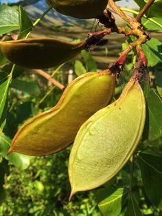Weeping boer-bean, tree Fuchsia, African Walnut (Schotia brachypetala) seed pods... #secretgarden #gardening #home #outdoors #gardeninspiration #gardendesign #nature #naturephotography #nuts #walnut #african #africa #kalahari #karroo #treesofAfrica #southafricanflora #flora #botany #trees #tree_captures #natureshot #naturelandscape #oldtree #treeshunter #instatree #tree_pictures #treeline #branches #treephotography Tribal African, Tree Photography, Seed Pods, Botany, Trees To Plant, Garden Inspiration, Branches, Garden Design, Flora