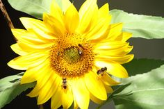 The sunflower became the mystic symbol of several early civilisations, notably the Incas who worshipped the sun.