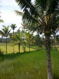 Rice fields, Lombok