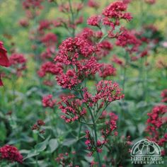 Centranthus ruber (Red Valerian): Z4, full sun, any soil/PH - in rich soil may need to be staked, dry; upright bushy mound of light green leaves, medium sized rounded heads of fragrant rosy-red flowers, blooms early summer-early fall; excellent cut flower, fragrant, containers, drought tolerant, deer resistant, attracts butterflies & bees; medium growth rate, easy care: deadhead/use cut flower for +blooms, short-lived perennial but self-seeds (like lamb's ears); good choice for hot dry sites