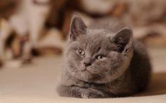 Herunterladen hintergrundbild lustige katze, britisch-kurzhaar-katze, maulkorb, hauskatze, katze, graue katze, niedliche tiere, britisch kurzhaar katze