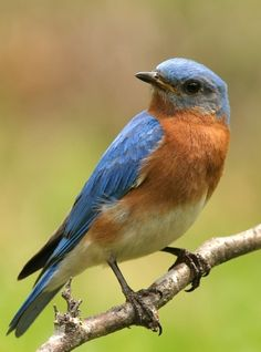 How to attract bluebirds...