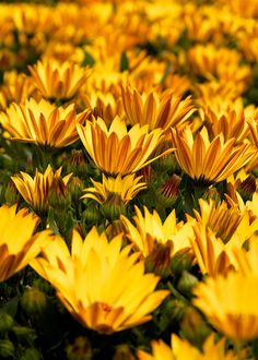 Flower - yellow Flowers    London set l See my Most Interesting l Getty l Faves l On Black l Explore My Stream     I love photographing flowers