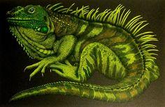 Iguana by Benji Jager