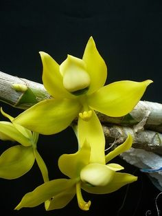 Orchid Yellow Flowers Garden Love - via: flowersgardenlove - Imgend