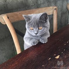 From @spikeandblubelle: Blubelle is a britishblue 4 months old and loves joining me for breakfast for yoghurt she is a very sweet kitty #catsofinstagram [source: http://ift.tt/2awyXZo ]
